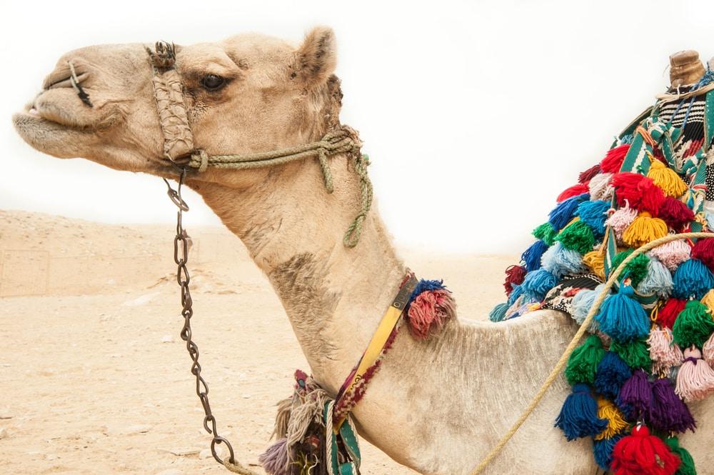 Egypte kameel