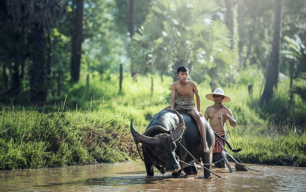 cambodja buffello