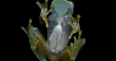 Bijzondere transparante kikker ontdekt in Ecuador
