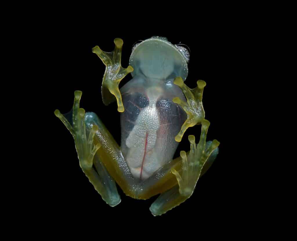 Bijzondere transparantie kikker ontdekt in Ecuador
