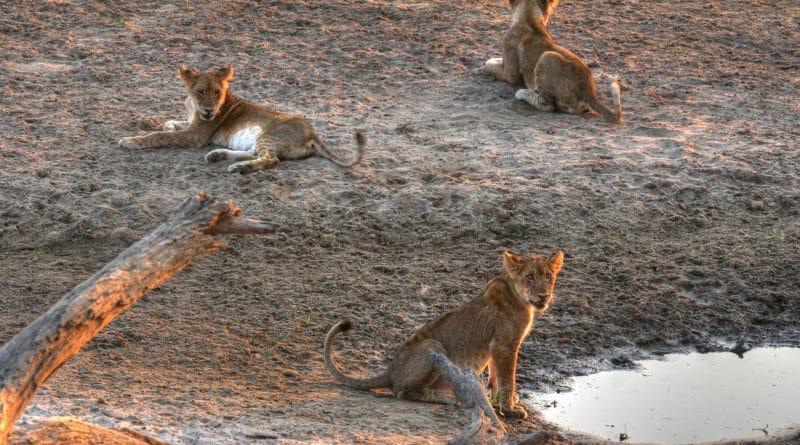 Leonardo DiCaprio zet zich in voor leeuwen in Malawi
