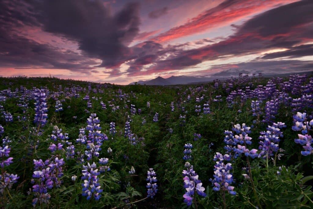 Beleef eindeloze zomeravonden in IJsland