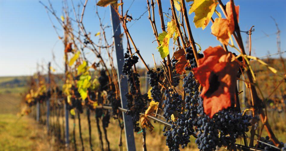 6 Tsjechische wijnfestivals om in september te bezoeken