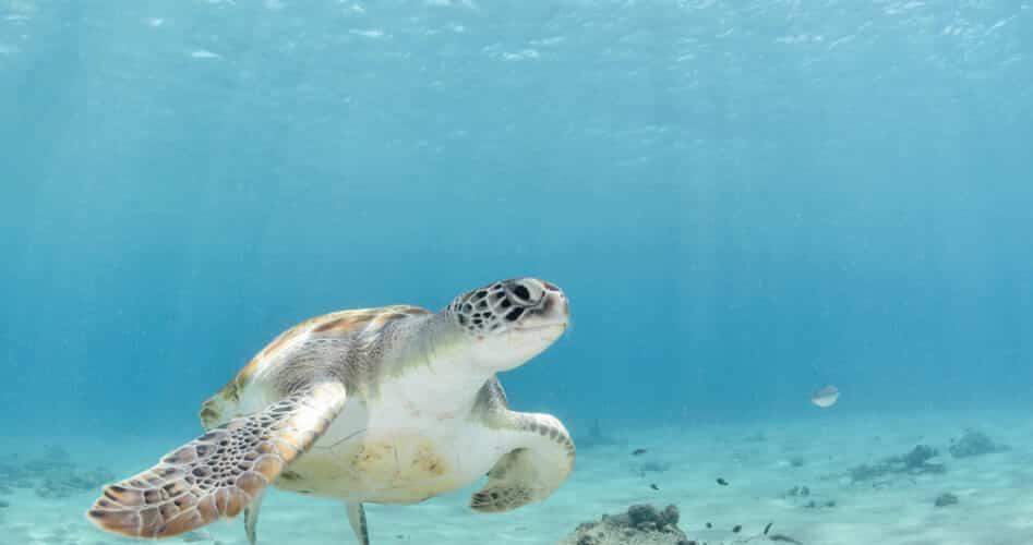 Spot de bijzondere zeeschildpadden van Costa Rica
