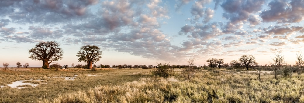De Baobab boom in Botswana
