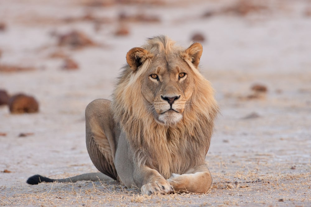 Leeuw in Nxai Pan National Park