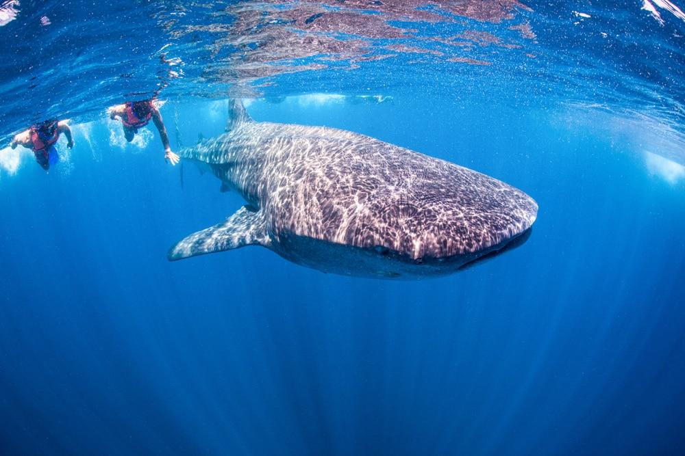 Snorkelen met de walvishaai