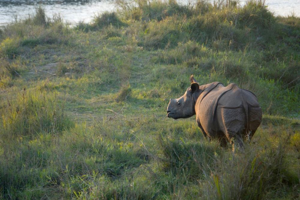 De bedreigde diersoort in Nepal