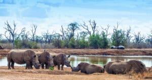 Een groep witte neushoorns in eSwatini
