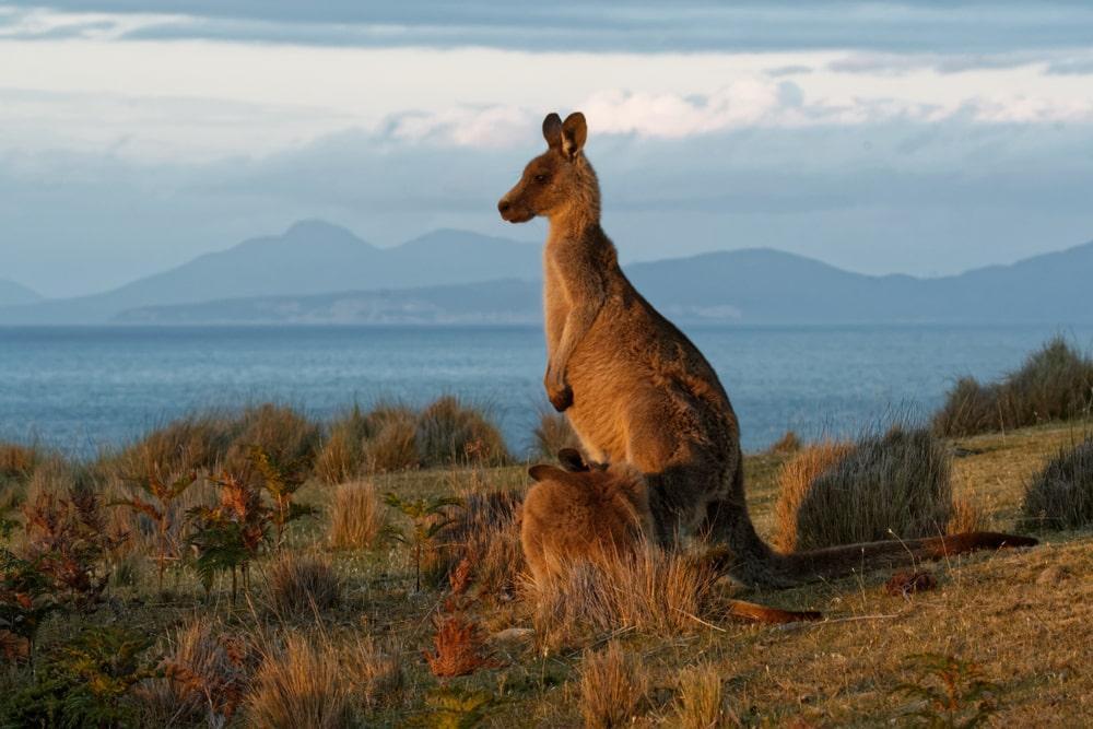 Wilde dieren spotten in Tasmanië