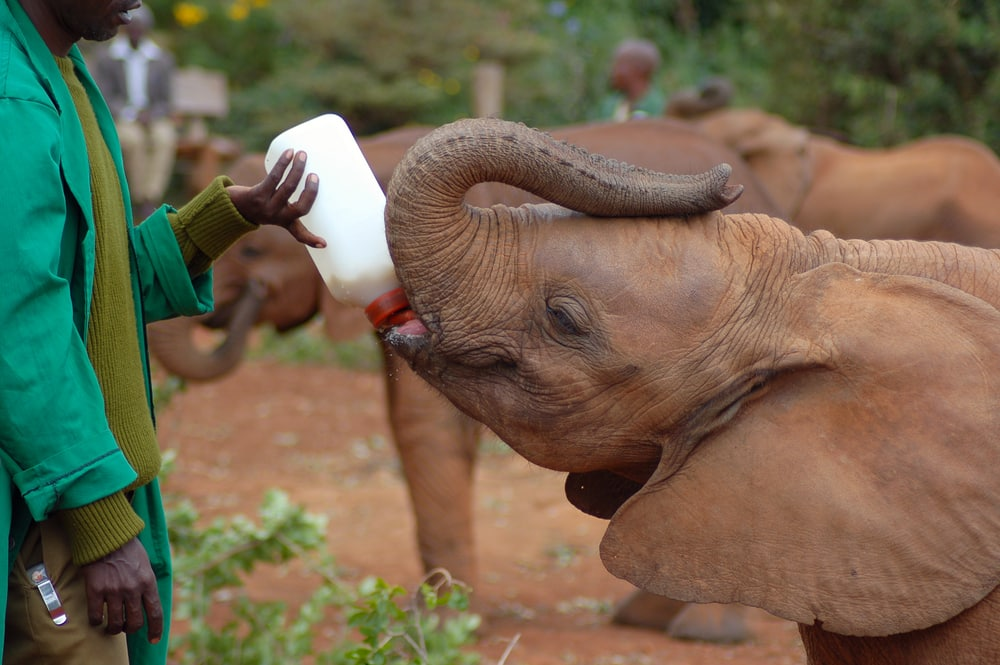 Een kleine olifant in het Sheldrick Elephant Orphanage