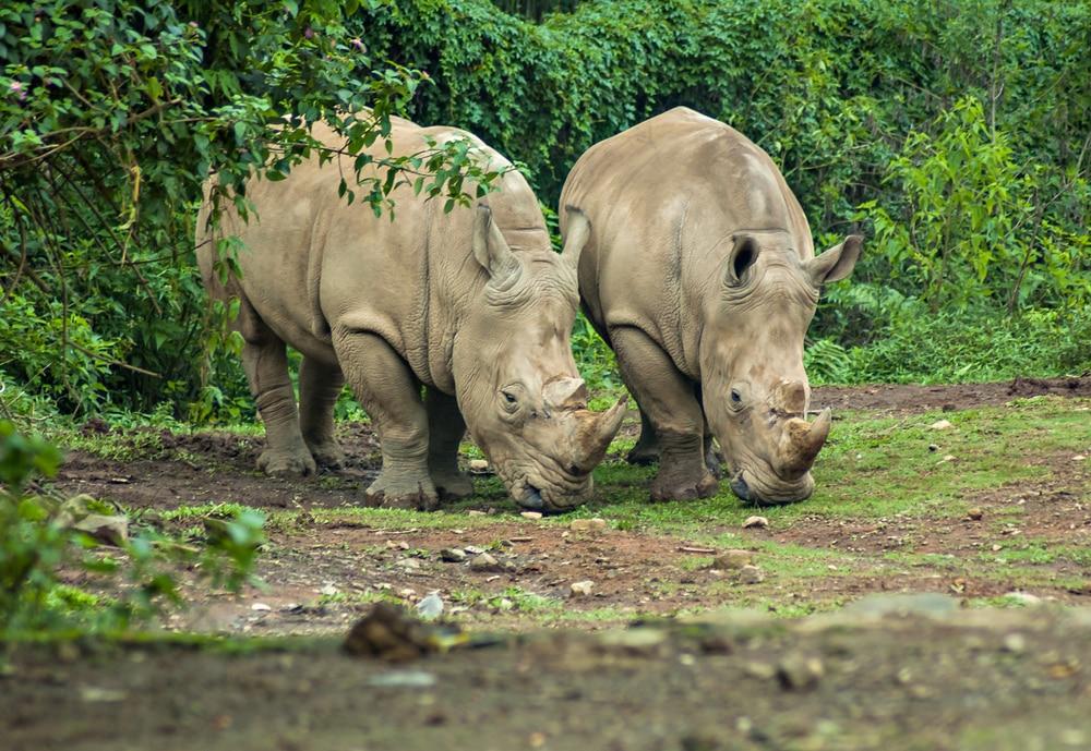 De bedreigde Javaanse neushoorn