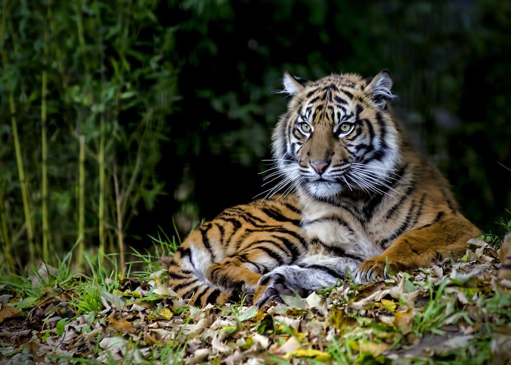 Wie weet heb je geluk en spot je de Sumatraanse tijger